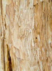 bark tree texture from paperbark / melaleuca