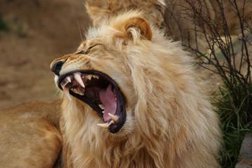 Angola Löwe, Panthera Leo Bleyenbergi