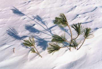 branch of pine tree in snow with shadow