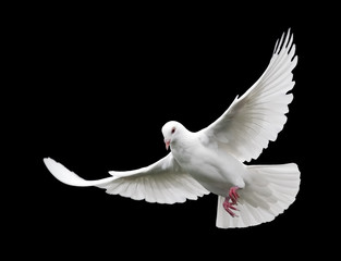 white dove in flight 6