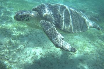 tortue géante du lagon de mayotte