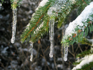 icicles on fir tree