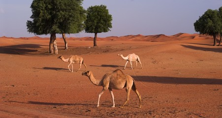 camels in sweihan area