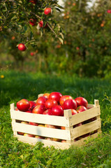 apples in orchard