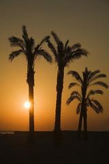 sunset  near oasis in sahara