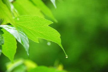 green leaf rain