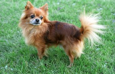 chihuahua - dog