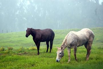 gazing horses