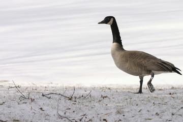 long goose