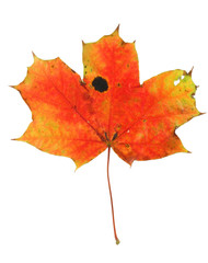vivid maple leaf with holes and spots #2