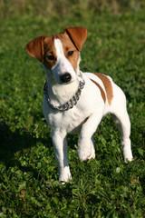chiot terrier attentif