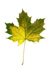 vivid fall leaf