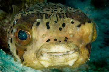 caribbean pufferfish