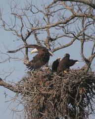 bald eagle leving nest