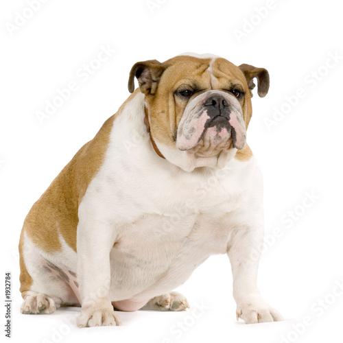 Bulldog Anglais Stock Photo And Royalty Free Images On Fotoliacom