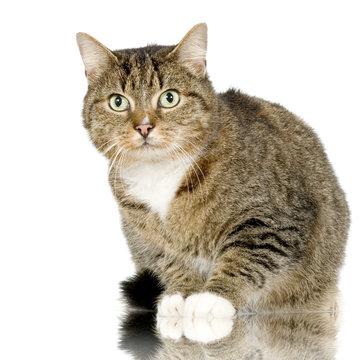 chat forestier - european wildcat