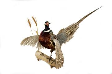 ring-necked pheasant mount