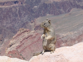 squirrel on canyon edge
