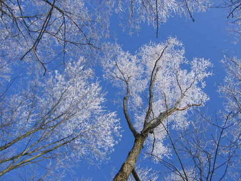 frosty trees with blue sky.