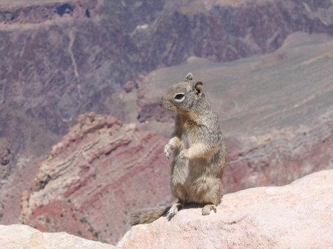 squirrel on canyon edge
