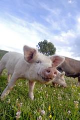close up of pink pig.