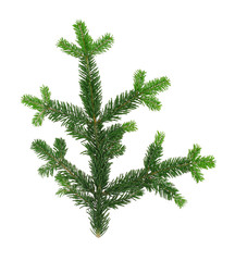 perfecty isolated spruce twig