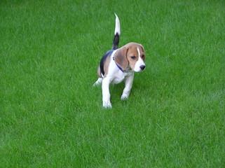 rodolfo beagle @ luca d'angelo
