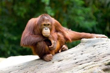Foto op Aluminium Aap baby orangutan