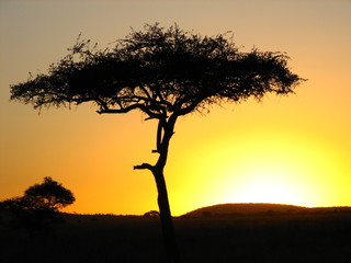 acacia tree in an african sunset