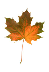 mapple fall leaf