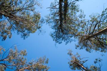Fotobehang Aan het plafond tall forest eucalypts