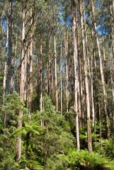tall eucalypt rainforest
