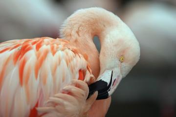 Wall Murals Flamingo chilean flamingo