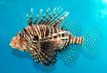 lion fish 1