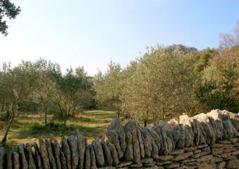oliviers et murs de pierres