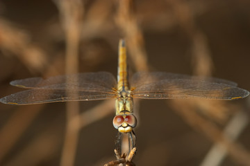 libélula ( sympetrum sp )