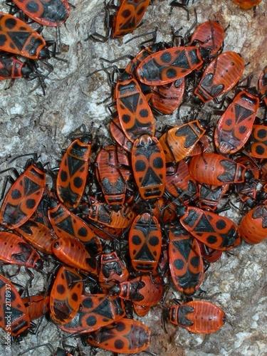 Insectes gendarmes sur tronc d 39 arbre photo libre de droits sur la banque d 39 images fotolia - Achat tronc arbre decoratif ...