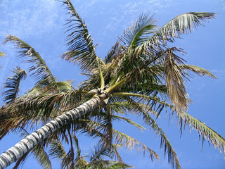 palm in the blue sky