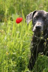 dog with orange poppy flower bloom