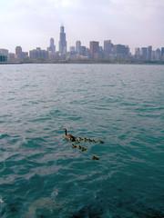 famille de canards à chicago