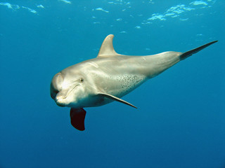 Türaufkleber Delphin delfin 03