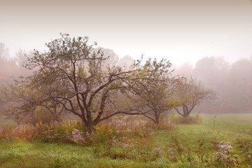 apples trees in the mist