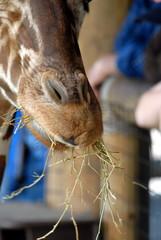 giraffe snout