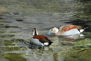two ducks swimming