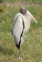 large heron