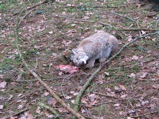 lynx eating