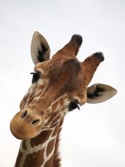 Fond de hotte en verre imprimé Girafe ojos mimosos