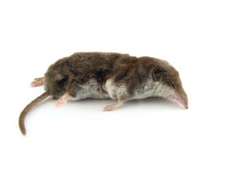 dead mole