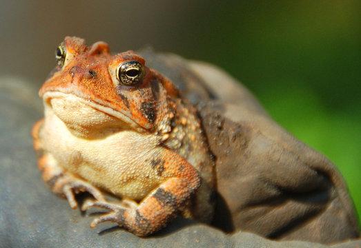 frog toad closeup