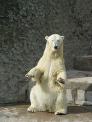 dancing polar bear-she